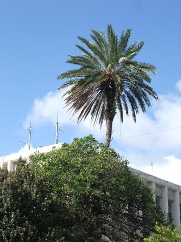 宜野湾市役所の合体木 3