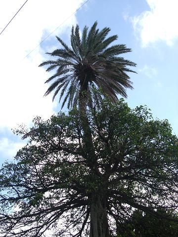 宜野湾市役所の合体木 4