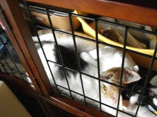 090521子猫寝姿4