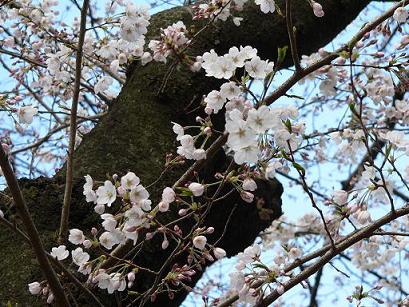 好みの桜ショット