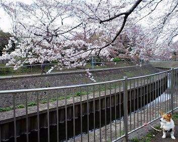 桜もおわり