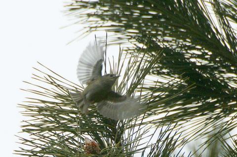 キクイタダキの飛翔