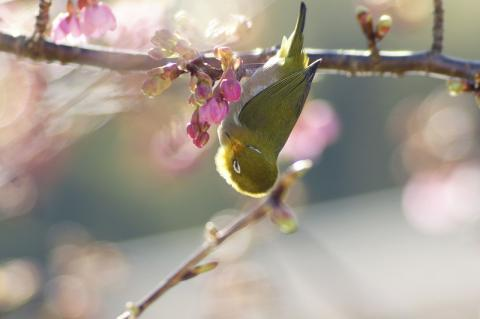 メジロと桜2