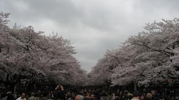 sakura-ueno.jpg