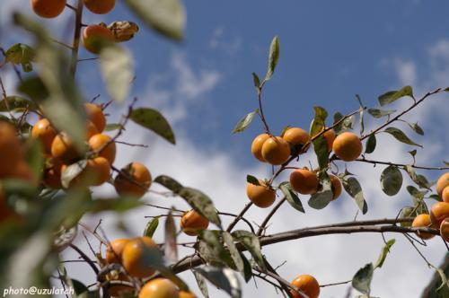 青空と稔りの柿