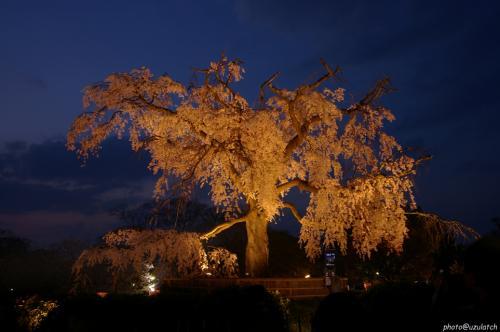 円山公園-しだれ宵桜