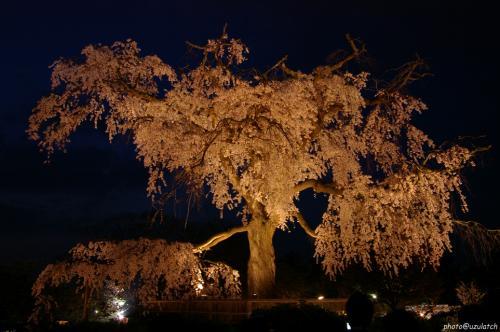 円山公園-しだれ夜桜