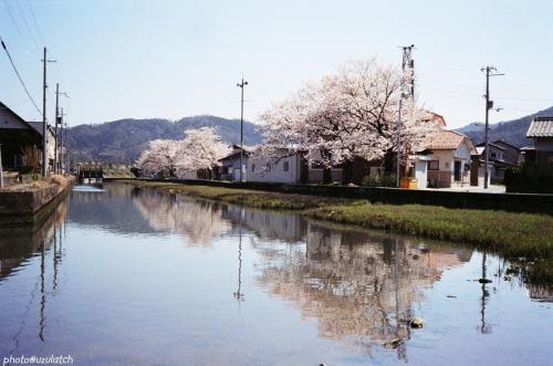 水路の桜01