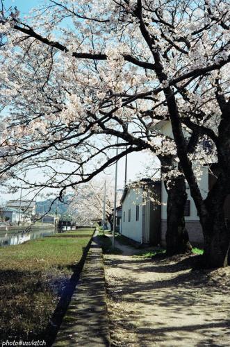 水路の桜02