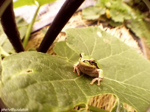 葉の上の雨蛙