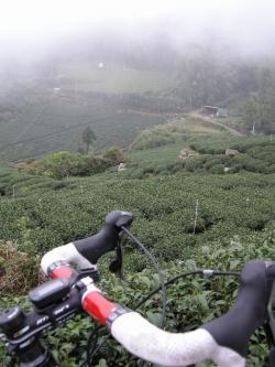 樟樹湖の茶畑1