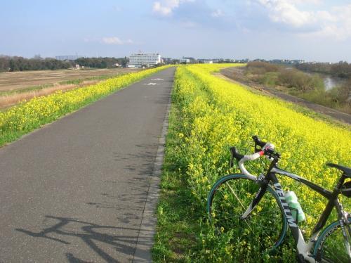 江戸川菜の花0321