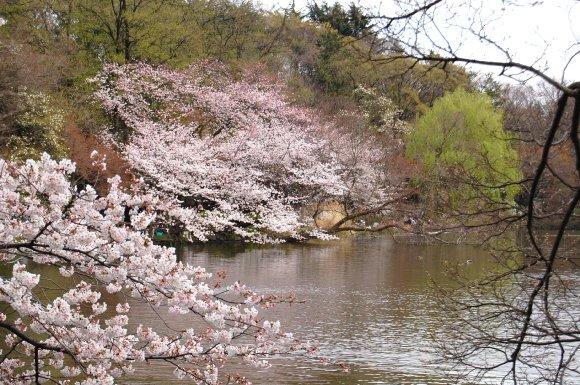 春の井の頭公園1