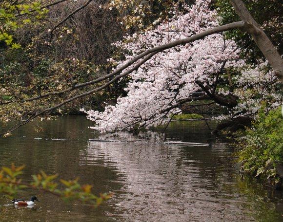 春の井の頭公園2