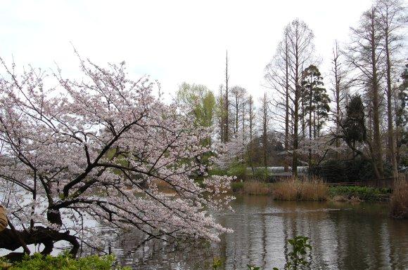 春の井の頭公園3
