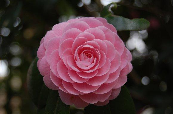 井の頭公園の花