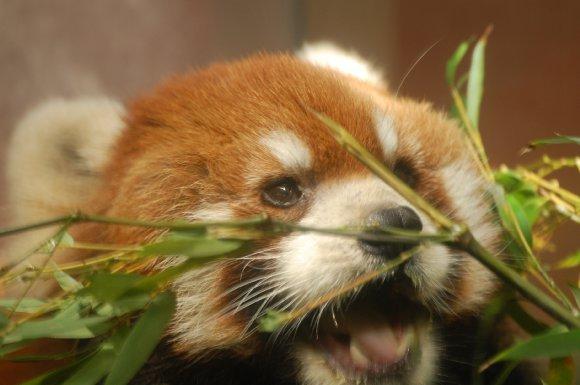 「笹うめー!」レッサーパンダ