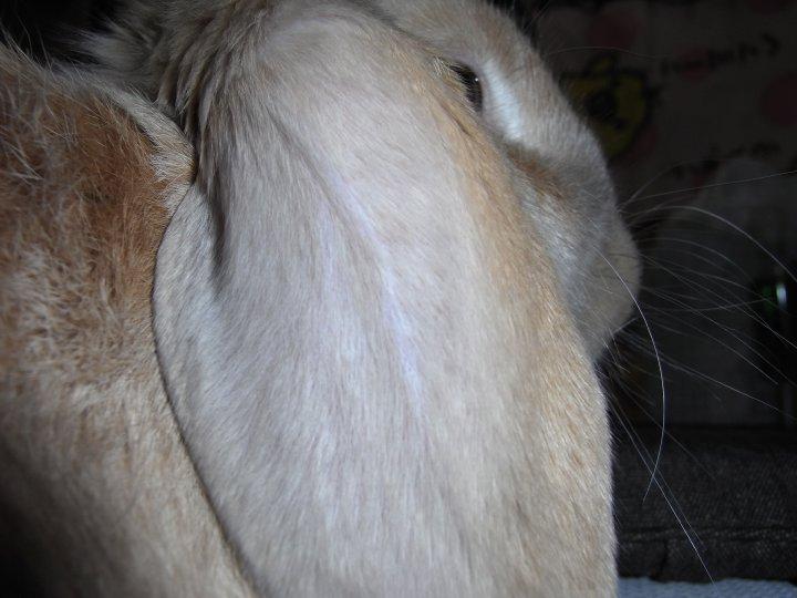 もふもふした耳