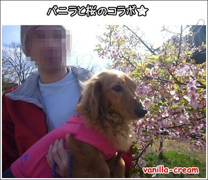 バニと桜!