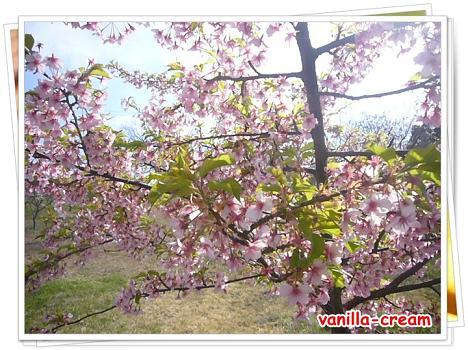 早咲きの桜!