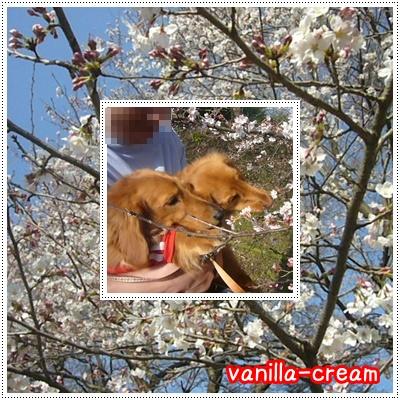 桜とバニクリ★