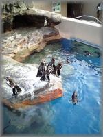 おそらくフンボルトペンギン。