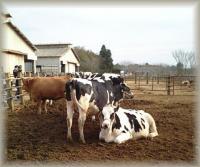 佇む乳牛。