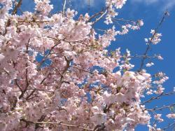 17+Sep+Sakura+1_convert_20080917125222.jpg