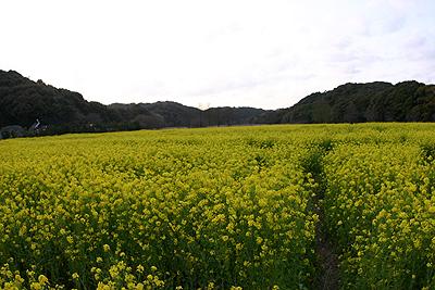 菜の花の香り