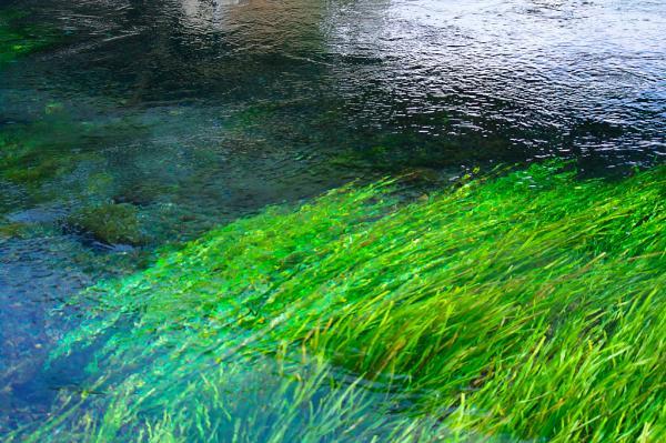 柿田川の水草