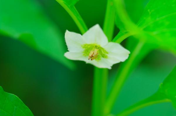 フィサリスの花