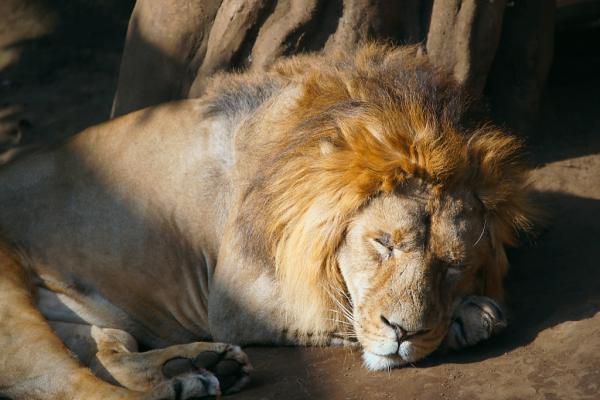 ライオンのご主人