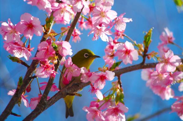 桜+メジロ