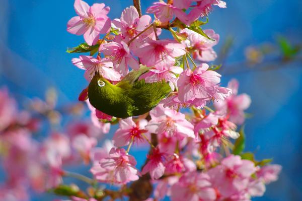 メジロとピンクの梅の花