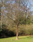 桜 光る木の幹