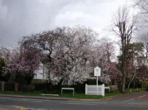 イギリスの街角の桜