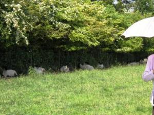 さぼる羊たち