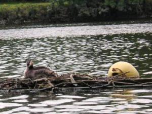 筏の鳥の巣