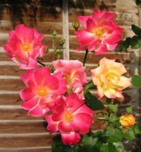 開いて咲く薔薇