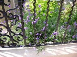 lavenderがフェンスから覗いてる