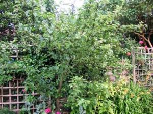 うちのりんごの木1)