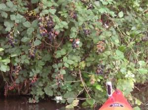 ブラックベリーの茂みだ!!