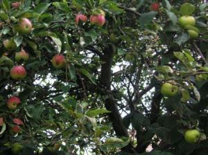 塀の向こう側の家からしだれているりんご二種