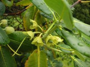 長舌の花。