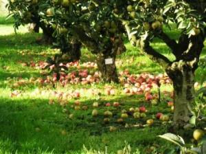 木の下にりんご落ち放題