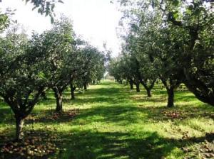 りんご園中に落ち放題