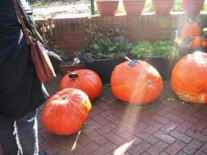 sumo pumpkins