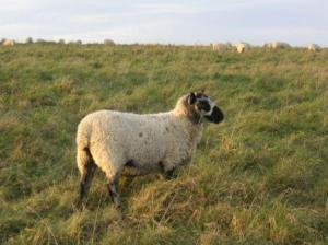 羊がぷいと横を向く