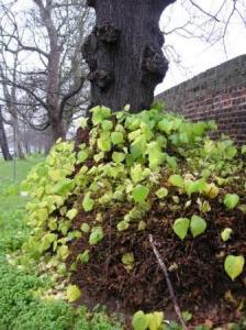 木の下から新しい葉っぱがもりもり