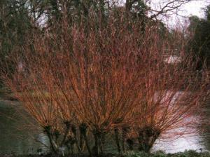ポラーディングした木
